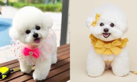 bichon-frise-dog-breeds