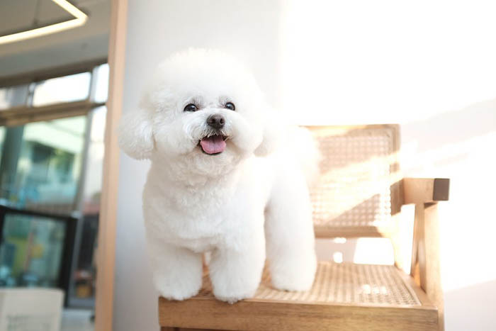 bichon-frise-dog-facts