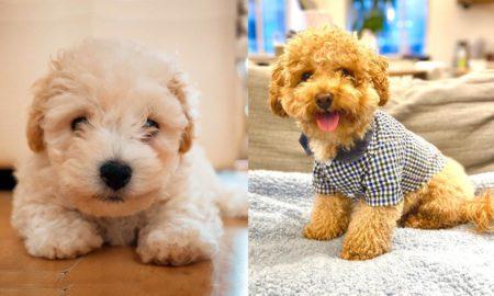 bichon-poodle-dog-breed