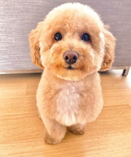 bichon-poodle-mix-puppies