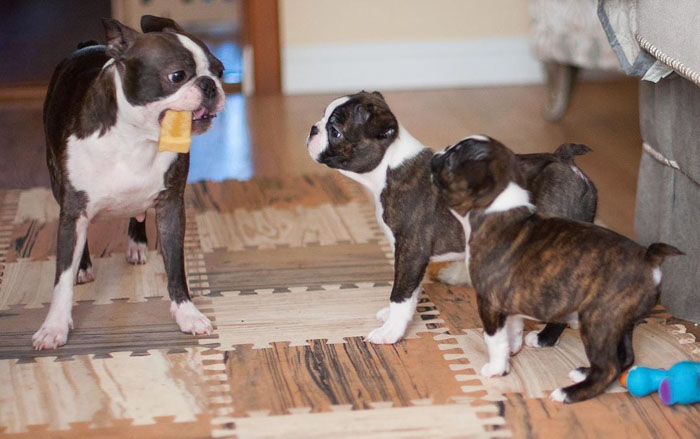 boston-terrier-puppies