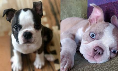 boston-terrier-puppies-facts