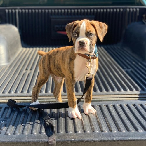 Boxer Puppies Facts