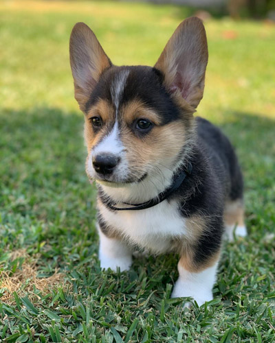 Corgi-puppies
