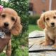 dachshund-puppies-facts