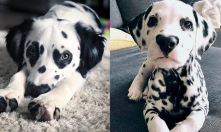 dalmatian-puppy-facts