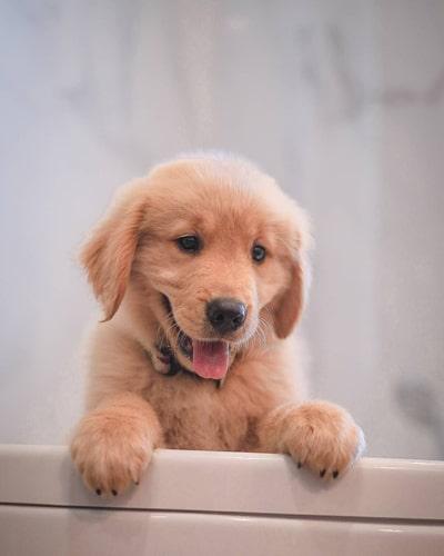 golden-retriever-puppies