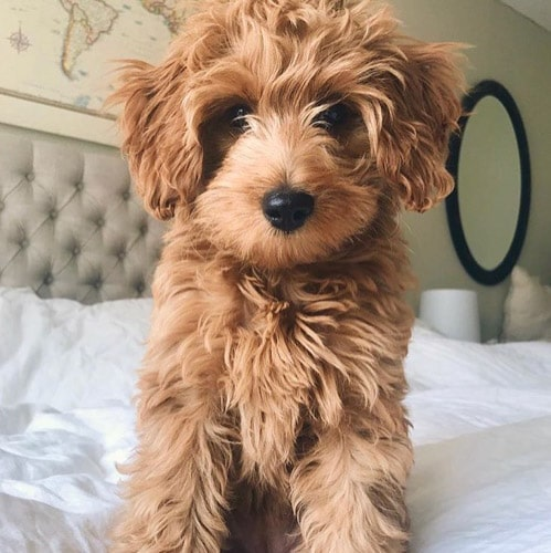 goldendoodle-puppies