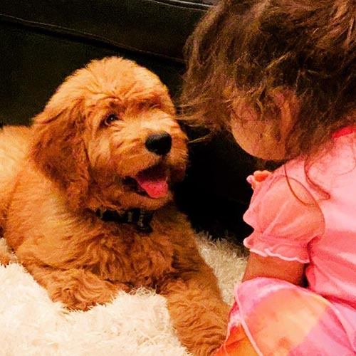 goldendoodle puppies facts 1 1