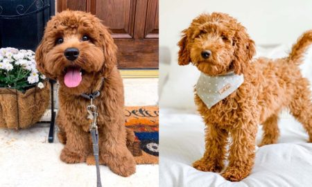 goldendoodle-puppies-facts