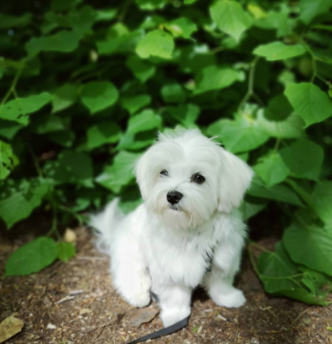 maltese-puppies