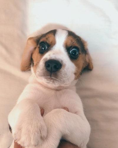beagle-teacup-dogs