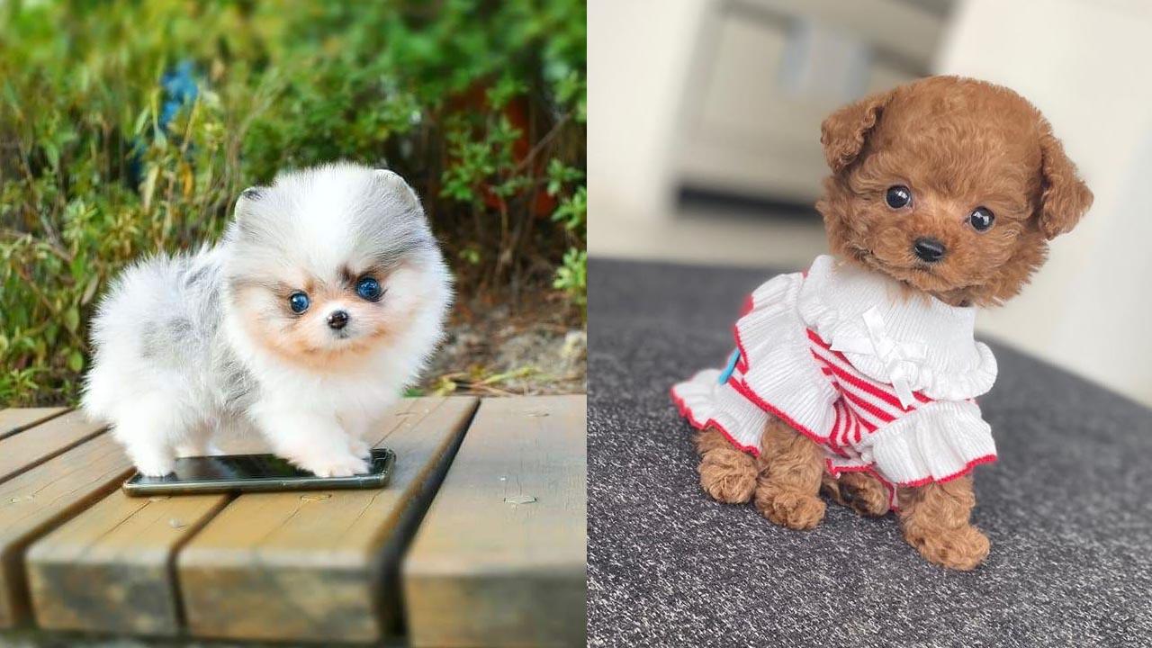 miniature-dog-breeds