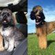 moyen-poodle-dog-breed