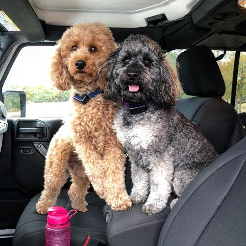 moyen-poodle-puppies