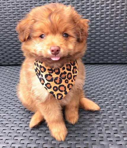 pomeranian-poodle-mix-puppies