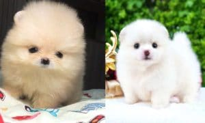 pomeranian-puppies-facts