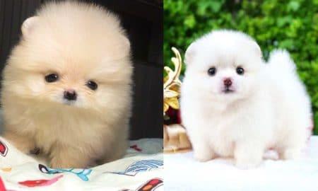 pomeranian-puppies-facts