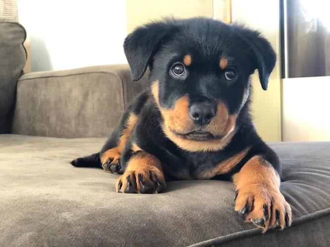 rottweiler-puppies