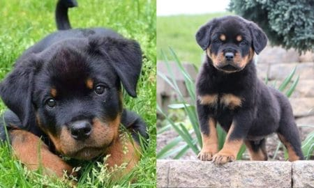 rottweiler-puppies-facts