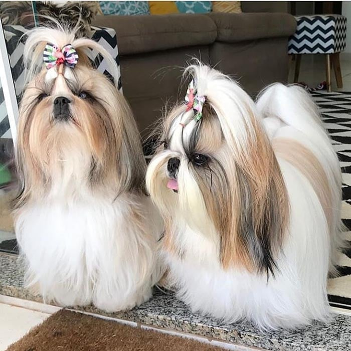 5 Ways to Extend Your Shih Tzus Life Span