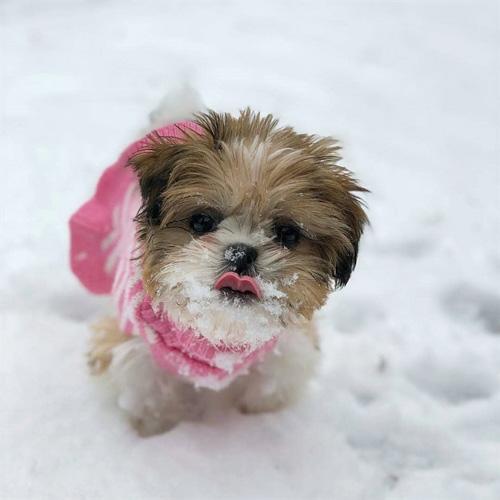 shih-tzu-puppies