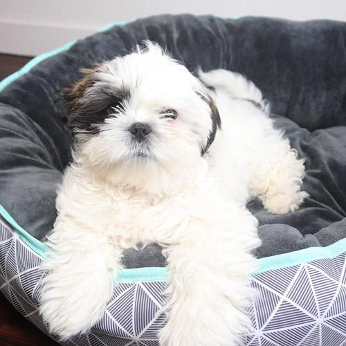 miniature-dog-breeds-pug