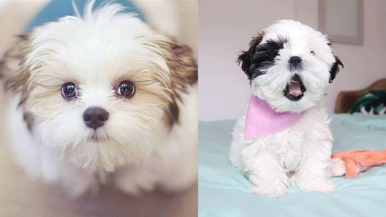 shih-tzu-puppies-facts