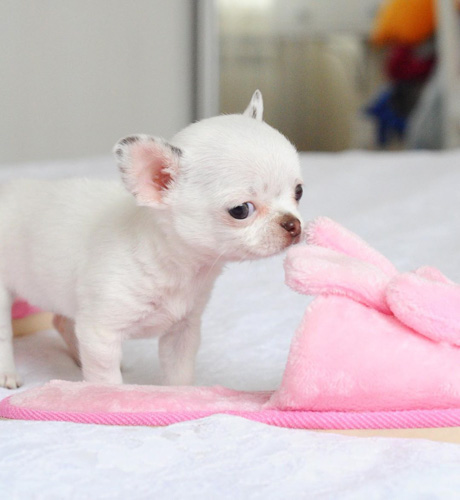 chihuahua-puppies-facts