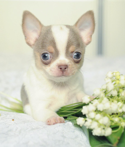 chihuahua-puppies facts