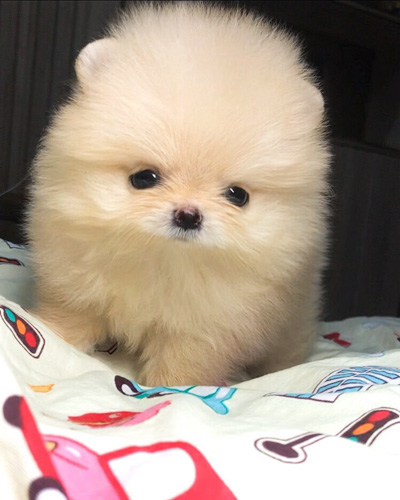 teacup-pomeranian-facts