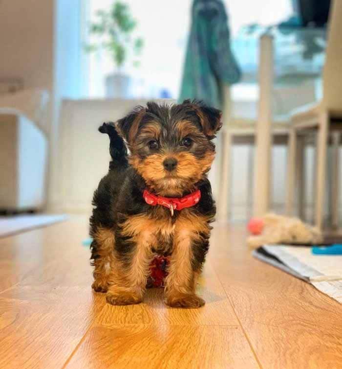 5 Ways to Extend Your Yorkie Life Span