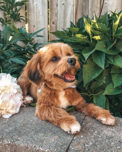 yorkie-poodle