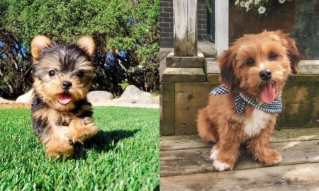 yorkie-poodle-dogs