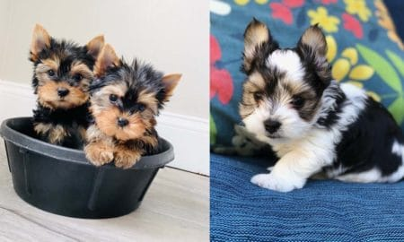 yorkie-puppies-facts