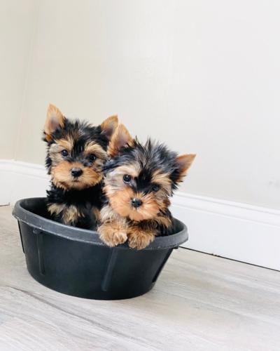 yorkie-puppies