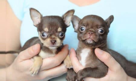 chihuahua-dog-facts