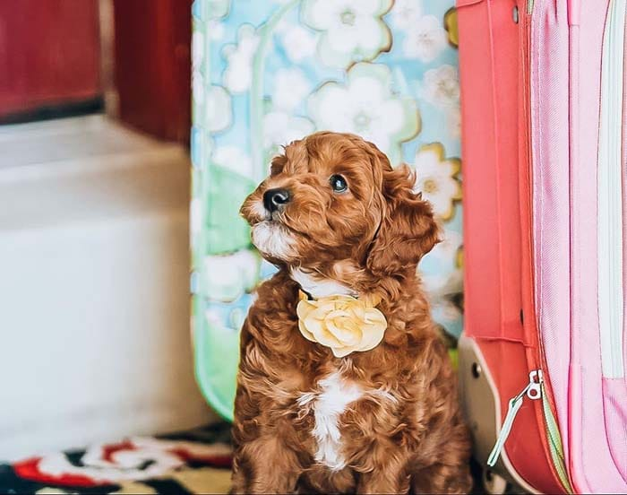 10-best-dog-breeds-for-first-time-owners