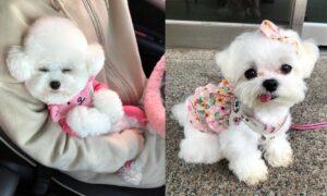 lap-dogs