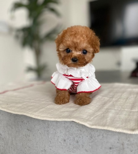 toy-poodle-dogs